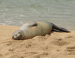 Endangered Hawaiian Monk Seal